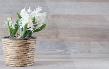 hyacinth white valentines