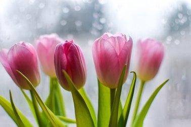 Tulips valentines day