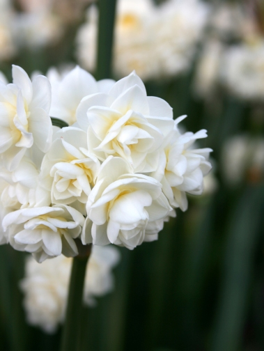Narcissus 'Bridal Crown valentines day